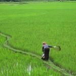 arrozales BP